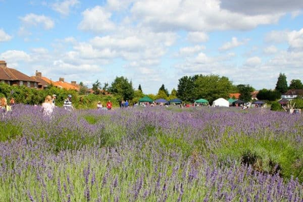 Book in these dates for a wonderful community event – harvesting lavender!